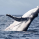Nuevo documental revela que las ballenas tienen emociones